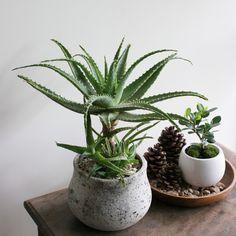 キダチアロエ / Aloe arborescens