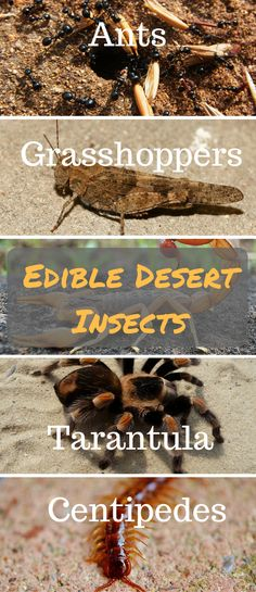 Edible Desert Insects