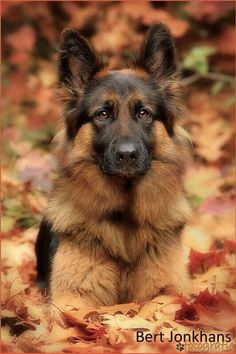 Beautiful dog's coat blends with Fall leaves.