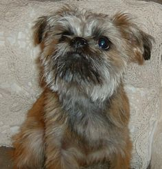 Benny, the Brussels Griffon by micheleburke123--Beautiful story!