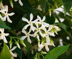 jasmin etoile grimpant feuillage persistant et floraison estivale odorant