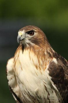 Red Tailed Hawk -  blogged by Eric Virkler. I watch them soar everyday.