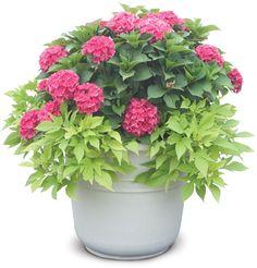 Cityline® Paris - Bigleaf Hydrangea - Hydrangea macrophylla