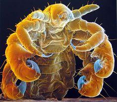 Phthirus pubis. Una micrografía de microscopio electrónico de barrido