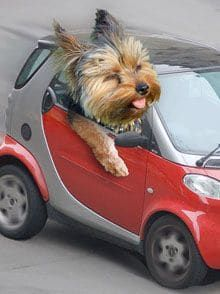 Yorkie on wheels.most adorable yorkie ever! Yorkies, Yorkie Dogs, Cute Baby Animals, Animals And Pets, Funny Animals, Cute Puppies, Cute Dogs, Dogs And Puppies, Dog Pictures