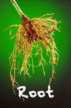 Root = The part of a plant that anchors it into the ground and absorbs water and minerals from the soil.