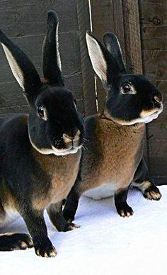 Black Otter Rex Rabbits