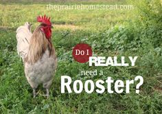 Do I HAVE to Have a Rooster? | The Prairie Homestead
