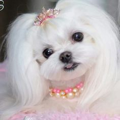 Maltese...Great Groom