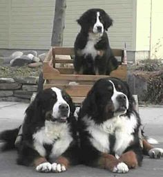 bernefie puppies for sale All Dogs, Dogs And Puppies, Burmese Mountain Dogs, American Cocker Spaniel, Paws And Claws, Purebred Dogs, Bernese Mountain, Working Dogs, Newfoundland