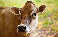 Happy Cow Print By Brian Jannsen