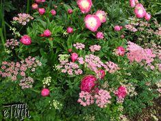 Paeonia with Chaerophyllum hirsutum roseum | #eTilth.com - I like these shades of pink.