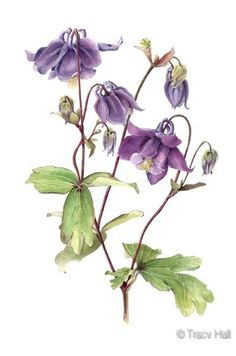 http://www.watercolour-artist.co.uk/flowerpaintings-purple-aquilegia.html