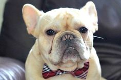 How to Make a Bow Tie for Your Dog using #Velcro. http://www.interplas.com/velcro