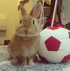 soccer bun⚽⚽⚽⚽⚽⚽ this is so going to be my future rabbit