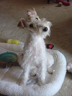 oh I'm not a fan of small dogs, but this would be the only one I'd ever get. I love wire fox terriers. my-pets-talk-to-me Fox Terriers, Perro Fox Terrier, Wirehaired Fox Terrier, Wire Fox Terrier, Terrier Dogs, Wire Haired Terrier, Picture Albums, Pet Fox, Cute Photography