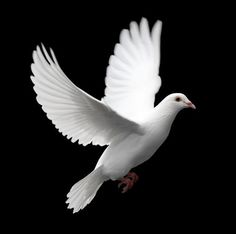 White ring neck doves can barely fly more than a mile but white homing pigeons can find their way home from distances of more than 500 miles. The birds are used to relay messages in war, and are also released during weddings and funerals.: