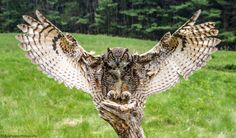 Birds of Prey photography workshop is set up in a natural setting with raptors such as the Bald Eagle, Golden Eagle, Great horned owl, Great Grey Owl, Barn Owl Owl Tattoo Chest, Owl Tattoo Small, Tattoo Owl, Owl Photos, Owl Pictures, Nocturne, Nicolas Vanier, Owl Tattoo Drawings, Mini Mundo