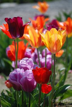 Tulips 1 by StephGabler on DeviantArt