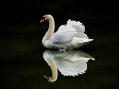 Swan.