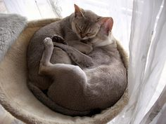 Curled Cats by singapuracats, via Flickr