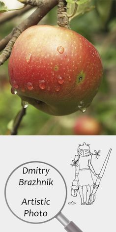 Dmitry Brazhnik   Artistic Photo   Printable   Design   Interior   Instant Download   Fruits Photography (fragment)   Full Color Apple Red Summer Vintage Garden Drops Rain Selected Digital Poster Print Photo Digital Image   №D-4001