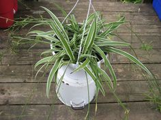 10 House Plants To De-Stress Your Home Spider plant
