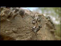 Ants - Attenborough: Life in the Undergrowth - BBC - YouTube