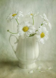 White Mums by Mandy Disher on 500px
