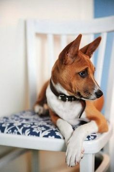 Basenji - Basenji is a medium sized dog breed originated in Africa.Basenji were bred to hunt.Basenji are healthy dog breeds and are among Top 5 least smelly dog breeds and are carrying 4th position.