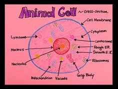 What Is Inside An Animal Cell Illustrate The Anatomy In Sparkling Detail