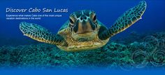 Get ready to fill your mind with all things turtle! Dive in and learn the ins & outs of our two most common species of sea turtles here in Hawai'i - the Green Sea Turtle (honu) and the Hawksbill (honu'ea). Summer is turtle season! Sea Turtle Nest, Baby Sea Turtles, Tiny Turtle, Cute Turtles, Green Turtle, Turtle Bay, Sea Turtle Wallpaper, Animal Wallpaper, Hd Wallpaper