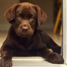 Getting a #chocolate #lab #puppy sometime