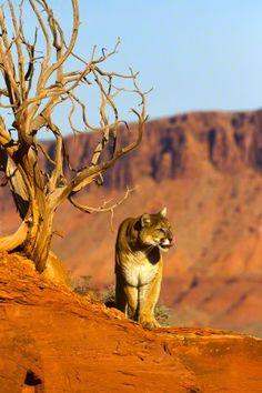 Puma on a rock and dead tree - Utah, USA