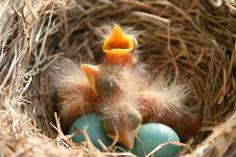 Robbin Chicks