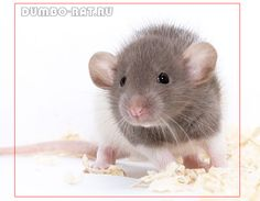 Cute dumbo rat baby :)