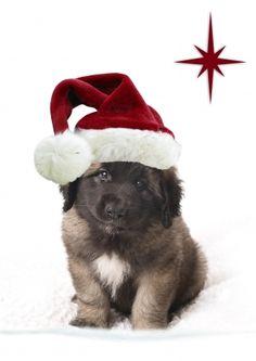 Kerstkaart Leonberger puppy met een kerstmuts (@Karen van Gerner Fotografie)