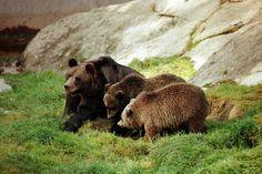 Bears, Ähtäri Zoo in Finland