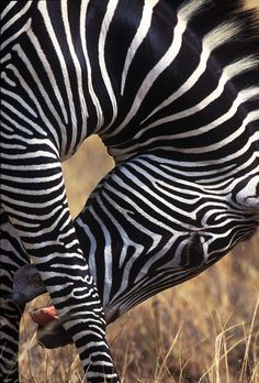 For the traveler who wants to experience nature at it's finest, Tanzania should be a place of interest, in this article we explore a Tanzanian Safari and Animals Of The World, Animals And Pets, Cute Animals, Zebra Pictures, Animal Pictures, Zebras, Beautiful Horses, Animals Beautiful, Zebra Wallpaper