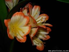 Clivia growers of distinction Arrow Keys, Close Image, Plants, Planters, Plant, Planting