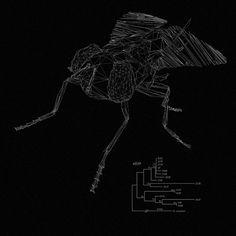 Drosophila melanogaster by NastPlas , via Behance