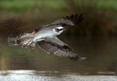 Osprey missed fish Corner, Meet, Fish, Nature, Animals, Naturaleza, Animaux, Animales, Nature Illustration