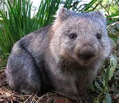 """Wombat or as I like to call them """"live teddy bears"""""""