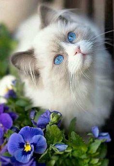 Cats And Kittens White Blue Eyes 29 New Ideas - Katzenrassen Beautiful Cats Pretty Cats, Beautiful Cats, Animals Beautiful, Pretty Kitty, Pretty Animals, Gorgeous Eyes, Cute Cats And Kittens, Kittens Cutest, I Love Cats