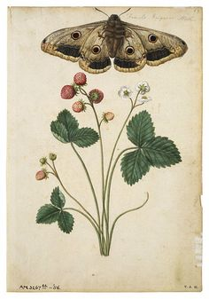 Strawberry and Emperor Moth. Jacques Le Moyne de Morgues, c.1568-1572