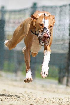 Ibizan hound?