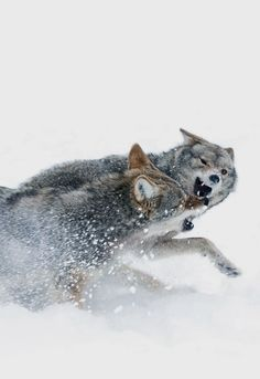 Wolves Fighting (by Jim Cumming)