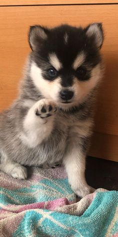 Pomsky Puppies, Dogs And Puppies, Dog Bread, Interesting History, Mixed Breed, Apartment Living, Small Dogs, Cute Dogs, Adoption