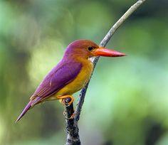 Ruddy Kingfisher - World - BirdWatching Daily - BirdWatching Community
