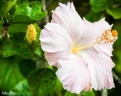 White-Pink Hibiscus | Hawaii Pictures of the Day